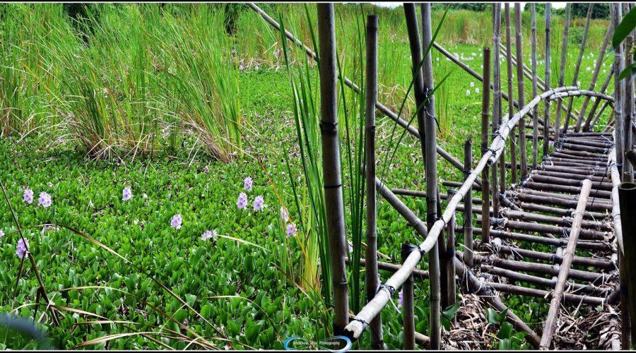 鳳眼藍花屬水生植物,所以花期只有一天
