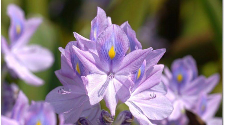 花海盛開的花叫鳳眼藍花,屬於極度入侵性物種,完全沒有天敵。