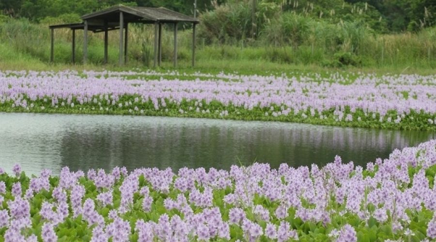 鳳眼藍花的位置與大家所站位置有一魚塘阻隔